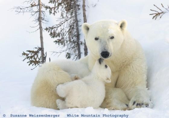 Beso de un cachorro de oso polar.
